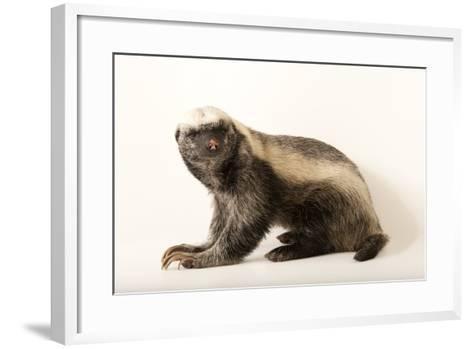 A Honey Badger, Mellivora Capensis, at the Fort Wayne Children's Zoo-Joel Sartore-Framed Art Print
