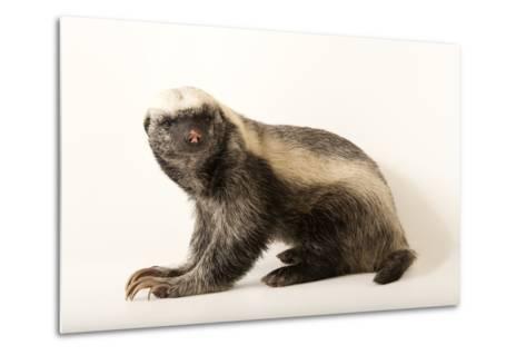 A Honey Badger, Mellivora Capensis, at the Fort Wayne Children's Zoo-Joel Sartore-Metal Print