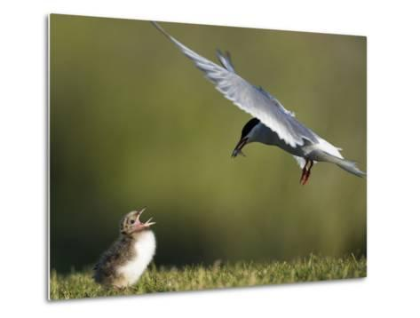 An Arctic Tern, Sterna Paradisaea, Flying Towards Chick to Feed Baitfish-Michael Melford-Metal Print