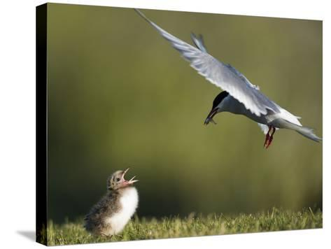 An Arctic Tern, Sterna Paradisaea, Flying Towards Chick to Feed Baitfish-Michael Melford-Stretched Canvas Print