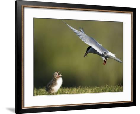 An Arctic Tern, Sterna Paradisaea, Flying Towards Chick to Feed Baitfish-Michael Melford-Framed Art Print