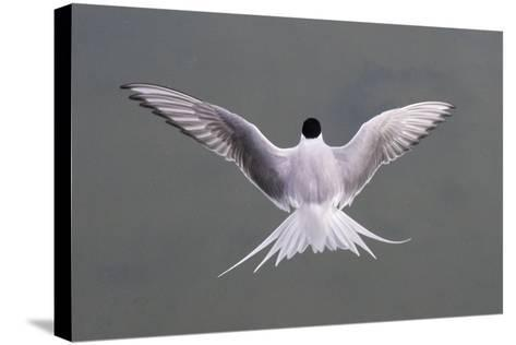 Arctic Tern, Sterna Paradisaea, Flying over Water in Iceland-Michael Melford-Stretched Canvas Print