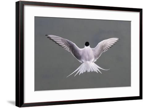 Arctic Tern, Sterna Paradisaea, Flying over Water in Iceland-Michael Melford-Framed Art Print