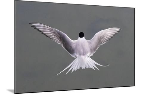Arctic Tern, Sterna Paradisaea, Flying over Water in Iceland-Michael Melford-Mounted Photographic Print