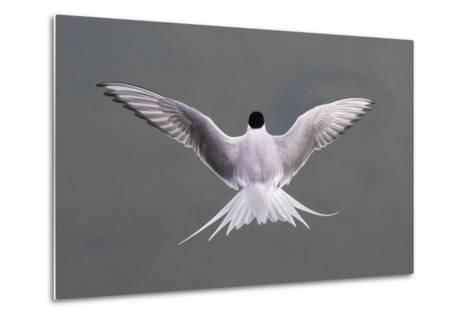 Arctic Tern, Sterna Paradisaea, Flying over Water in Iceland-Michael Melford-Metal Print