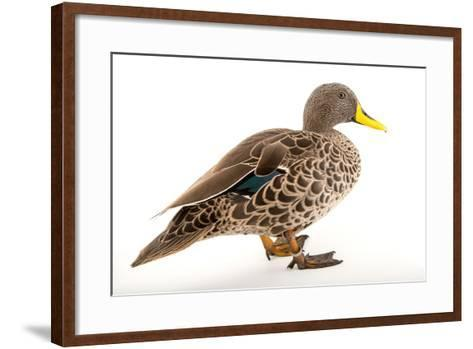 A Yellow Billed Duck, Anas Undulata, at the Sylvan Heights Bird Park-Joel Sartore-Framed Art Print