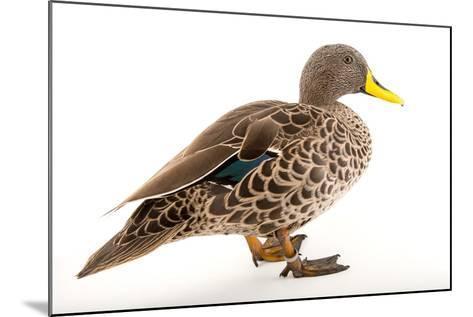 A Yellow Billed Duck, Anas Undulata, at the Sylvan Heights Bird Park-Joel Sartore-Mounted Photographic Print