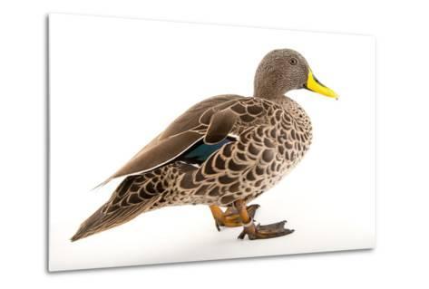 A Yellow Billed Duck, Anas Undulata, at the Sylvan Heights Bird Park-Joel Sartore-Metal Print