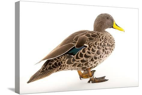A Yellow Billed Duck, Anas Undulata, at the Sylvan Heights Bird Park-Joel Sartore-Stretched Canvas Print