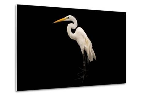 An American Great Egret, Ardea Alba Egretta, at the Saint Louis Zoo-Joel Sartore-Metal Print