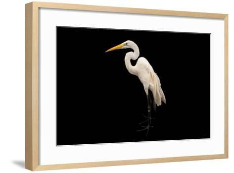 An American Great Egret, Ardea Alba Egretta, at the Saint Louis Zoo-Joel Sartore-Framed Art Print