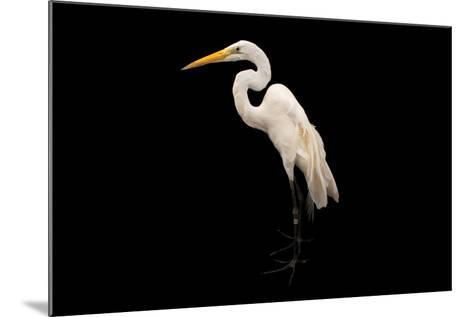 An American Great Egret, Ardea Alba Egretta, at the Saint Louis Zoo-Joel Sartore-Mounted Photographic Print