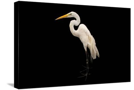 An American Great Egret, Ardea Alba Egretta, at the Saint Louis Zoo-Joel Sartore-Stretched Canvas Print