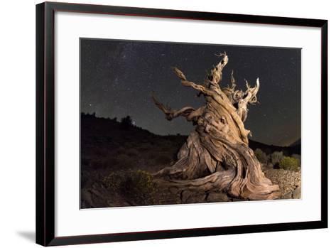 Stars Above an Old Twisted Bristlecone Pine in California-Babak Tafreshi-Framed Art Print