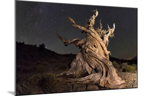 Stars Above an Old Twisted Bristlecone Pine in California-Babak Tafreshi-Mounted Photographic Print
