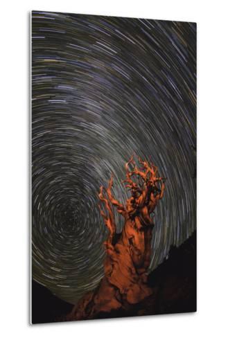 Long Exposure of Star Trails Above a Bristlecone Pine Tree in California, Usa-Babak Tafreshi-Metal Print