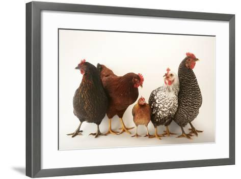 A Plymouth Barred Rock, Silver Laced Wyandotte, Nh Red, and Black Sex Link and Bantam Hen-Joel Sartore-Framed Art Print