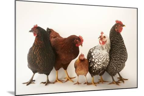 A Plymouth Barred Rock, Silver Laced Wyandotte, Nh Red, and Black Sex Link and Bantam Hen-Joel Sartore-Mounted Photographic Print
