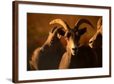 Close Up of a Bighorn Sheep, Ovis Canadensis, in Valley of Fire State Park-Raul Touzon-Framed Art Print