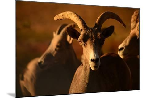 Close Up of a Bighorn Sheep, Ovis Canadensis, in Valley of Fire State Park-Raul Touzon-Mounted Photographic Print