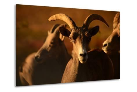 Close Up of a Bighorn Sheep, Ovis Canadensis, in Valley of Fire State Park-Raul Touzon-Metal Print