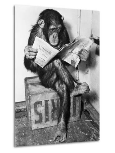 Chimpanzee Reading Newspaper-Bettmann-Metal Print