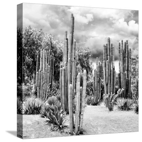 ?Viva Mexico! Square Collection - Cardon Cactus B&W II-Philippe Hugonnard-Stretched Canvas Print