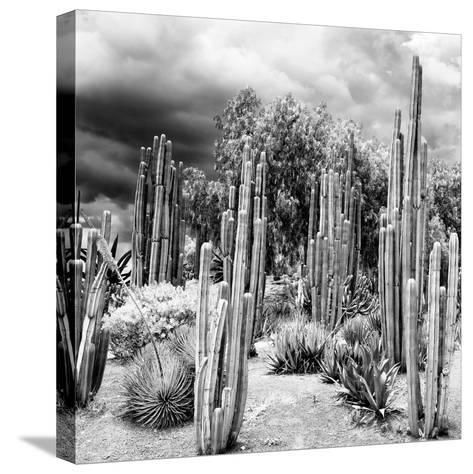 ¡Viva Mexico! Square Collection - Cardon Cactus B&W-Philippe Hugonnard-Stretched Canvas Print