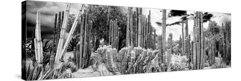 ¡Viva Mexico! Panoramic Collection - Cardon Cactus IV-Philippe Hugonnard-Stretched Canvas Print