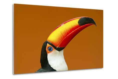 Toco Toucan (Ramphastos Toco) Head And Beak Profile Portrait, Brazil-Angelo Gandolfi-Metal Print
