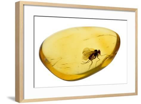 Fossilised Fly In Baltic Amber. Whole Specimen Approx 15Mm Long. Fly Approx 5Mm-Adrian Davies-Framed Art Print