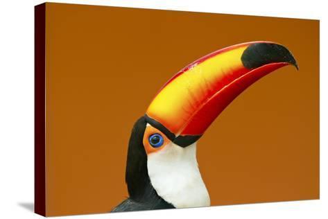 Toco Toucan (Ramphastos Toco) Head And Beak Profile Portrait, Brazil-Angelo Gandolfi-Stretched Canvas Print