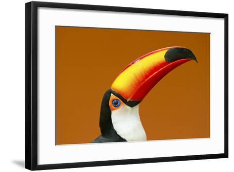 Toco Toucan (Ramphastos Toco) Head And Beak Profile Portrait, Brazil-Angelo Gandolfi-Framed Art Print