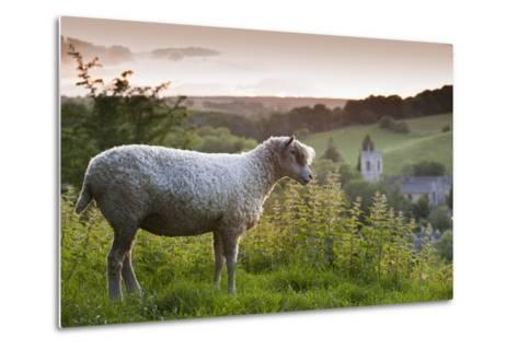 Cotswolds Lion Rare Breed Sheep (Ovis Aries) And The Village Of Naunton At Sunset-Nick Turner-Metal Print