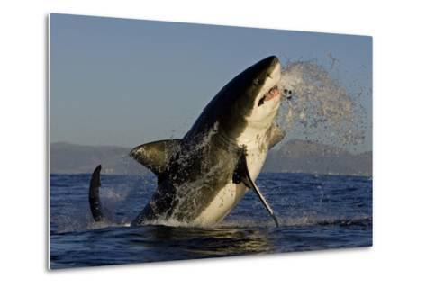 Great White Shark (Carcharodon Carcharias) Breaching Whilst Attacking Seal Decoy-Chris & Monique Fallows-Metal Print