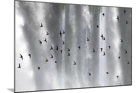 Great Dusky Swift (Cypseloides Senex) Flock In Front Of Iguazu Falls-Angelo Gandolfi-Mounted Photographic Print