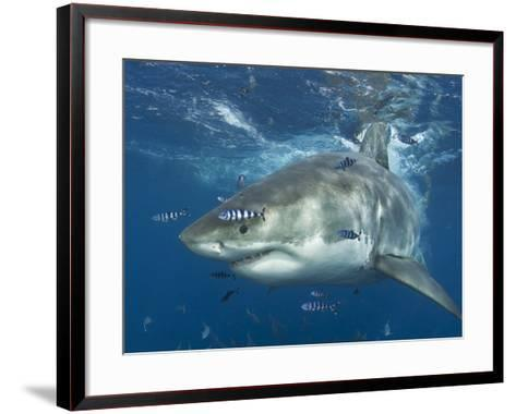 Great White Shark (Carchardon Carcharias) With Pilot Fish (Naucrates Ductor) Isla Guadalupe, Mexico-Chris & Monique Fallows-Framed Art Print