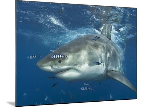 Great White Shark (Carchardon Carcharias) With Pilot Fish (Naucrates Ductor) Isla Guadalupe, Mexico-Chris & Monique Fallows-Mounted Photographic Print
