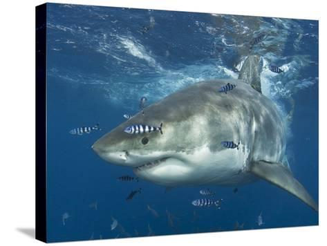 Great White Shark (Carchardon Carcharias) With Pilot Fish (Naucrates Ductor) Isla Guadalupe, Mexico-Chris & Monique Fallows-Stretched Canvas Print