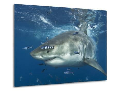 Great White Shark (Carchardon Carcharias) With Pilot Fish (Naucrates Ductor) Isla Guadalupe, Mexico-Chris & Monique Fallows-Metal Print