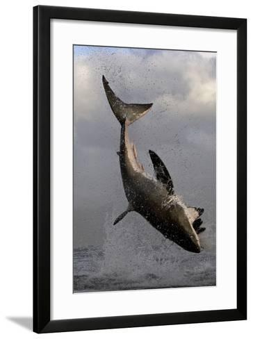 Great White Shark (Carcharodon Carcharias) Breaching Whilst Attacking Seal Decoy-Chris & Monique Fallows-Framed Art Print