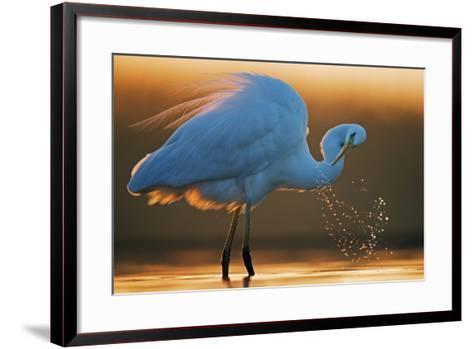 Great White Egret (Ardea Alba) Splashing, Hungary, January-Markus Varesvuo-Framed Art Print