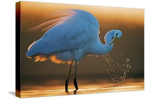 Great White Egret (Ardea Alba) Splashing, Hungary, January-Markus Varesvuo-Stretched Canvas Print