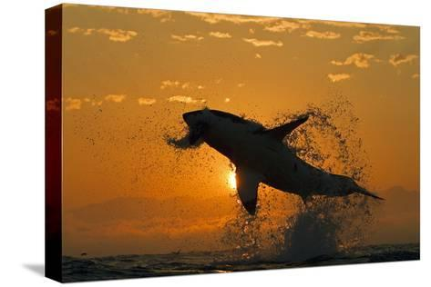 Great White Shark (Carchardon Carcharias) Breaching On Seal Decoy At Dawn, False Bay, South Africa-Chris & Monique Fallows-Stretched Canvas Print