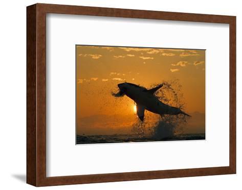 Great White Shark (Carchardon Carcharias) Breaching On Seal Decoy At Dawn, False Bay, South Africa-Chris & Monique Fallows-Framed Art Print