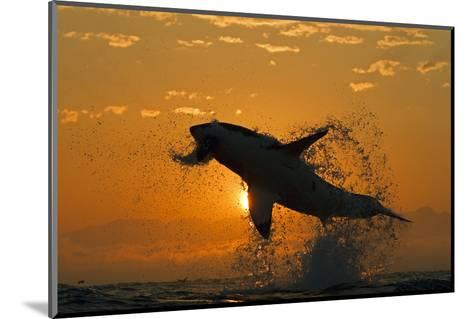 Great White Shark (Carchardon Carcharias) Breaching On Seal Decoy At Dawn, False Bay, South Africa-Chris & Monique Fallows-Mounted Photographic Print