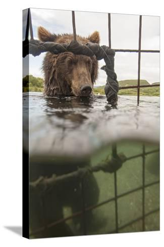 Kamchatka Brown Bear (Ursus Arctos Beringianus) In River, Taken From Protective Cage, Kamchatka-Sergey Gorshkov-Stretched Canvas Print