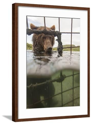 Kamchatka Brown Bear (Ursus Arctos Beringianus) In River, Taken From Protective Cage, Kamchatka-Sergey Gorshkov-Framed Art Print