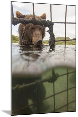 Kamchatka Brown Bear (Ursus Arctos Beringianus) In River, Taken From Protective Cage, Kamchatka-Sergey Gorshkov-Mounted Photographic Print