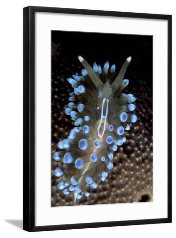 Nudibranch (Janolus Cristatus) Vela Luka, Korcula Island, Croatia, Adriatic Sea, Mediterranean-Franco Banfi-Framed Art Print